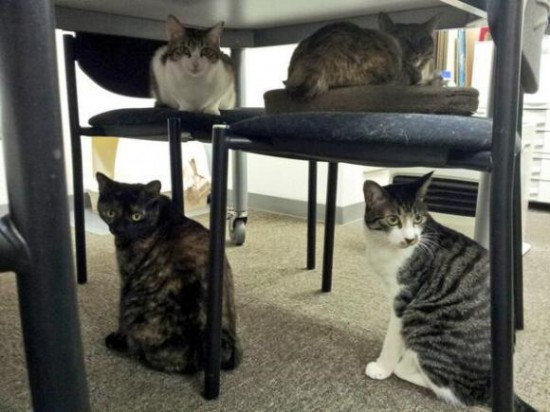 office-cats2-550x412